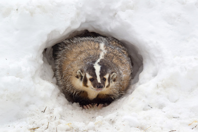 American Badger (Taxidea taxus) adult, at sett entrance in snow, Montana, U.S.A Photographic Print by Paul Sawer
