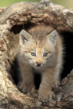 Canadian Lynx (Lynx canadensis) eight-weeks old cub, in hollow tree trunk, Montana, USA Photographic Print by Jurgen & Christine Sohns