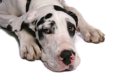 Domestic Dog, Great Dane, harlequin adult female, with collar Photographic Print by Chris Brignell