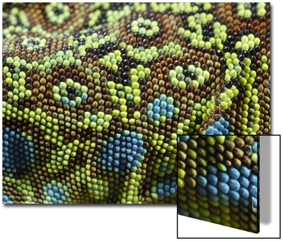 Ocellated Lizard (Timon lepidus) adult, close-up of skin texture, Italy, june Prints by Fabio Pupin