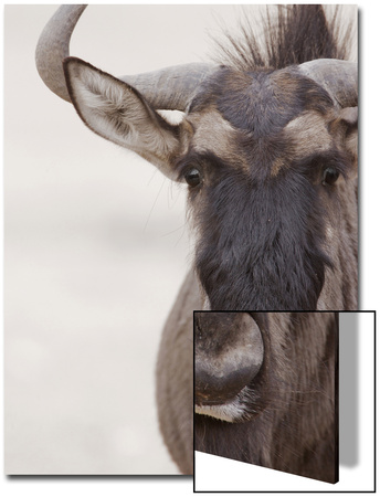 Blue Wildebeest (Connochaetus taurinus) adult, close-up of head, Kalahari, South Africa Prints by Andrew Forsyth