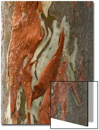 Rainbow Eucalyptus (Eucalyptus deglupta) close-up of bark, Northern Territory Posters by Krystyna Szulecka