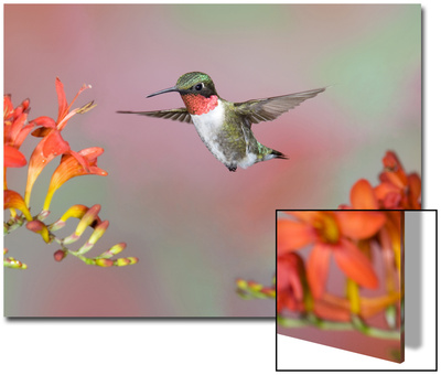 Ruby-throated Hummingbird (Archilochus colubris) adult male, in flight Poster by S & D & K Maslowski