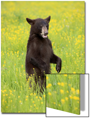 American Black Bear (Ursus americanus) cub, standing on hind legs in meadow, Minnesota, USA Art by Jurgen & Christine Sohns