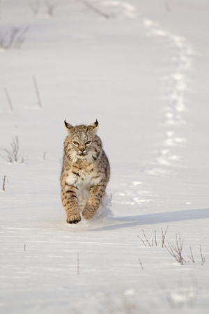 Bobcat (Lynx rufus) adult, running in snow, Montana, USA Photographic Print by Paul Sawer