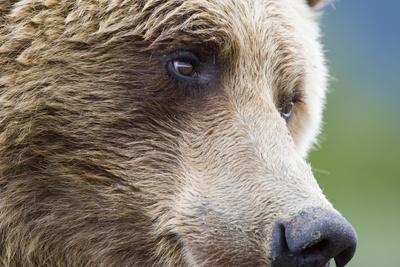 Grizzly Bear (Ursus arctos horribilis) adult, close-up of face, Katmai , Alaska Photographic Print by David Tipling