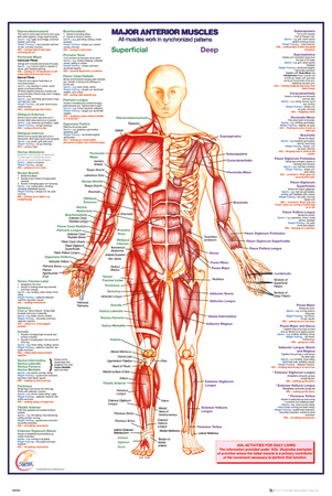 Human Body Major Anterior Muscles Prints