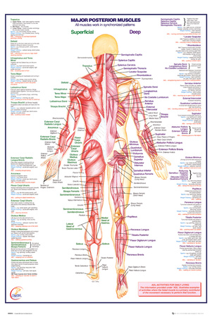 Human Body Major Posterior Muscles Poster