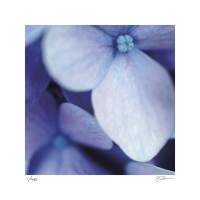 Blue Hydrangea 1 Limited Edition by Stacy Bass