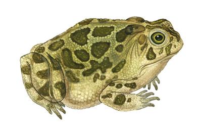 Great Plains Toad (Bufo Cognatus), Amphibians Prints by  Encyclopaedia Britannica