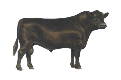 Angus Bull, Beef Cattle, Mammals Posters by  Encyclopaedia Britannica