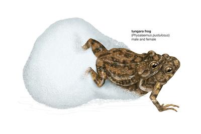 Tungara Frog (Physalaemus Pustulosus), Amphibians Poster by  Encyclopaedia Britannica