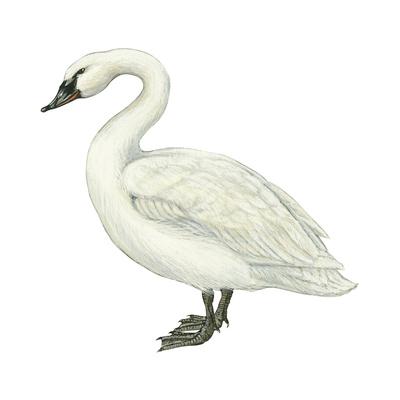 Trumpeter Swan (Cygnus Cygnus Buccinator), Birds Print by  Encyclopaedia Britannica