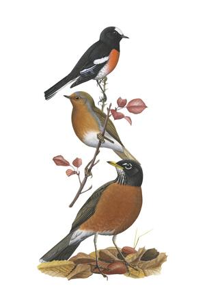 Scarlet Robin, European Robin, American Robin Stampe di  Encyclopaedia Britannica