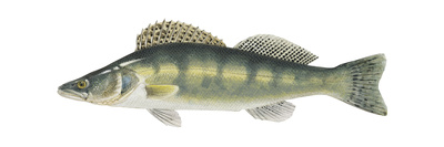 Pike-Perch (Sander Lucioperca), Fishes Posters by  Encyclopaedia Britannica