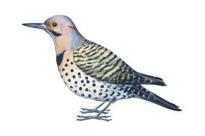 Yellow-Shafted Flicker (Colaptes Auratus), Birds Posters by  Encyclopaedia Britannica