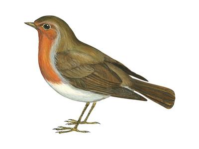European Robin (Erithacus Rubecula), Birds Stampe di  Encyclopaedia Britannica