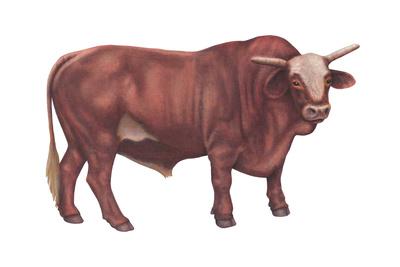 Braford Bull, Beef Cattle, Mammals Prints by  Encyclopaedia Britannica