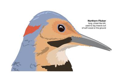 Northern Flicker (Colaptes Auratus), Birds Prints by  Encyclopaedia Britannica