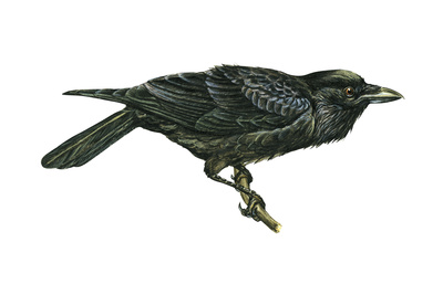Common Raven (Corvus Corax), Birds Prints by  Encyclopaedia Britannica