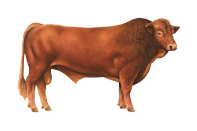 Gelbvieh Bull, Beef Cattle, Mammals Posters by  Encyclopaedia Britannica
