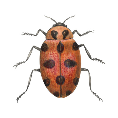 Twelve-Spotted Ladybird Beetle (Hippodamia Convergens), Insects Prints by  Encyclopaedia Britannica