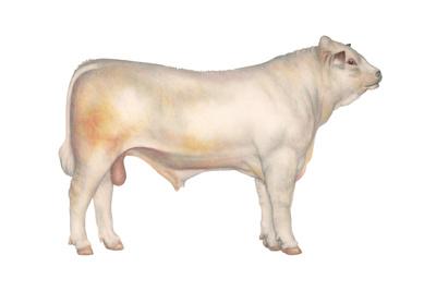 Charolais Bull, Beef Cattle, Mammals Prints by  Encyclopaedia Britannica