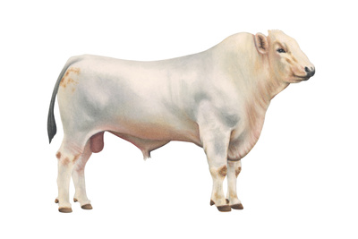 Chianini Bull, Beef Cattle, Mammals Posters by  Encyclopaedia Britannica