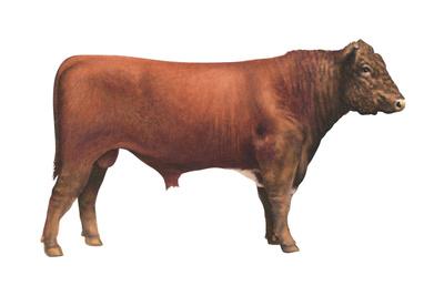 Shorthorn Bull, Beef Cattle, Mammals Prints by  Encyclopaedia Britannica