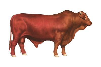 Santa Gertrudis Bull, Beef Cattle, Mammals Prints by  Encyclopaedia Britannica