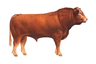 Limousin Bull, Beef Cattle, Mammals Poster by  Encyclopaedia Britannica