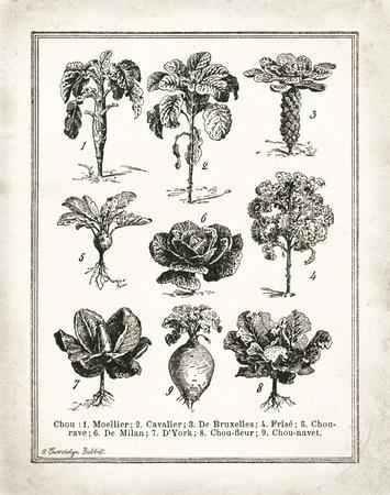 French Cabbage Kunstdruck von Gwendolyn Babbitt