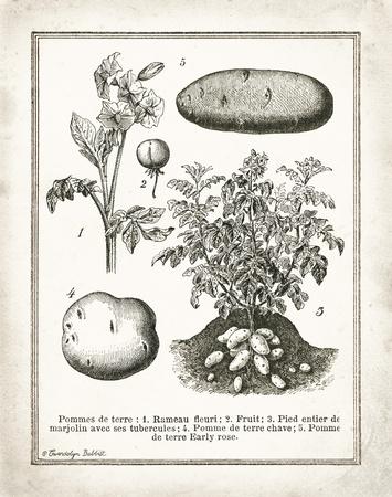 French Potatoes Poster von Gwendolyn Babbitt
