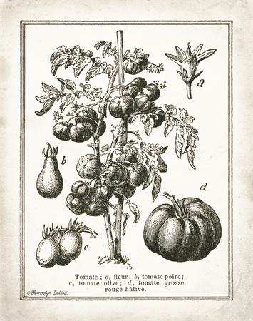 French Tomatoes Poster von Gwendolyn Babbitt