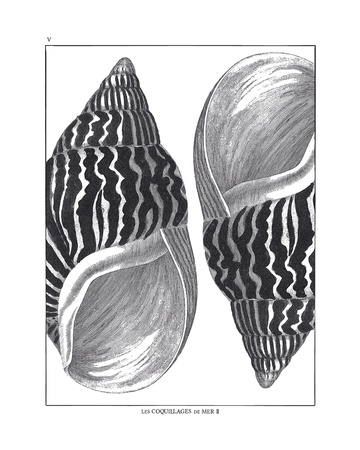 Coquillages Noir II Giclee Print by Maria Mendez