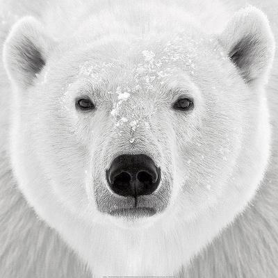 Polar Bear Prints by  PhotoINC Studio