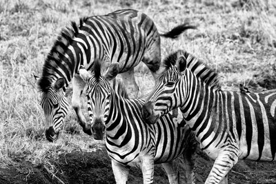 Awesome South Africa Collection B&W - Group of Common Zebras Photographic Print by Philippe Hugonnard