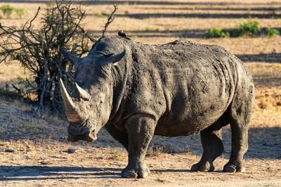 Awesome South Africa Collection - Black Rhinoceros I Fotografisk tryk af Philippe Hugonnard