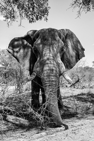 Awesome South Africa Collection B&W - Elephant Portrait V Photographic Print by Philippe Hugonnard