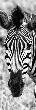Awesome South Africa Collection Panoramic - Close-up Zebra Portrait B&W Photographic Print by Philippe Hugonnard