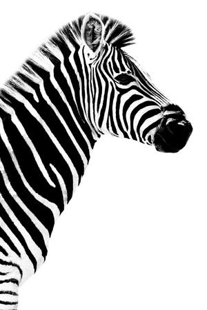 Safari Profile Collection - Zebra White Edition III Photographic Print by Philippe Hugonnard