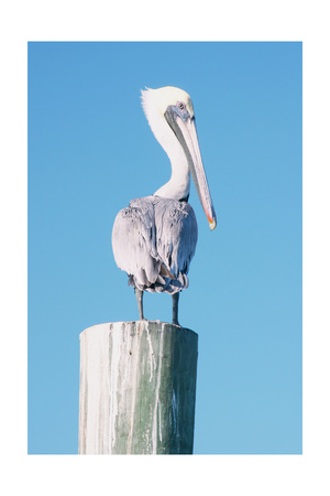 Pelican Perched I Prints by Kathy Mansfield