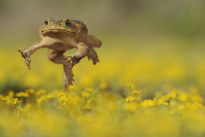 Cane Toad - Marine Toad - Giant Toad (Bufo Marinus) Adult Jumping Photographic Print by Rolf Nussbaumer
