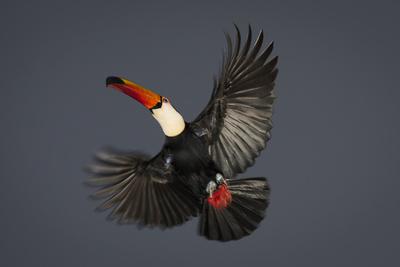 Toco Toucan (Ramphastos Toco) in Flight, Pantanal, Brazil Fotografie-Druck von Wim van den Heever