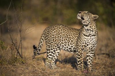 Leopard (Panthera Pardus) Male Looking Up at His Kill in the Tree Fotografie-Druck von Wim van den Heever