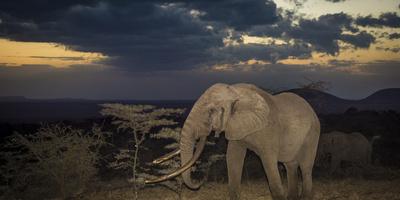 African Elephant (Loxodonta Africana) Bull 'One Ton' with Massive Tusks at Dusk Fotografie-Druck von Wim van den Heever