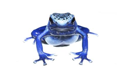 Blue Poison Dart Frog (Dendrobates Tinctorius Azureus) Portrait, Captive Photographic Print by Jp Lawrence