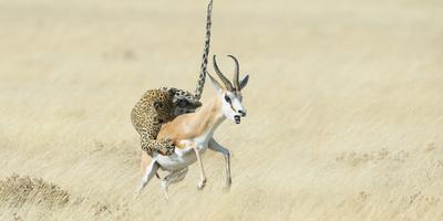 Leopard (Panthera Pardus) Hunting Springbok (Antidorcas Marsupialis) Etosha Fotografie-Druck von Wim van den Heever