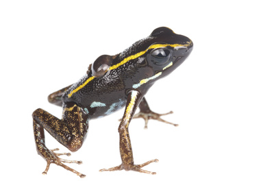 Lovely Poison Frog (Phyllobates Lugubris) Male with a Tadpole, Isla Colon, Panama, June Photographic Print by Jp Lawrence