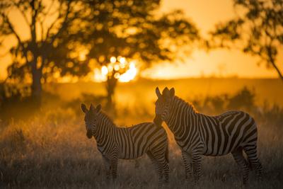 Plains Zebra (Equus Quagga) at Sunset, Savuti Marsh, Botswana Fotografie-Druck von Wim van den Heever